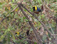 Golden-collared Tanager - Iridosornis jelskii