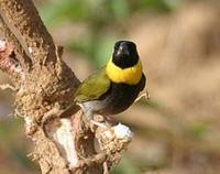 * Cuban Melodious Finch