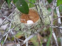 Rufous-crowned elaenia, nest