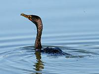 Double-crested Cormorant. Photo by Greg Gillson
