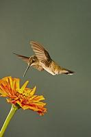 ...Black-chinned Hummingbird , in flight hovering over flower , Archilochus alexandri , Portal , Ar