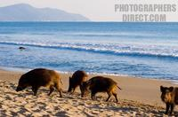 Young wild boars on the beach , maremma , Italy stock photo