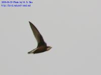 Fig. 02 바늘꼬리칼새 White-throated Needle-tailed Swift