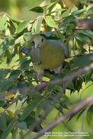 Pink-necked Green-Pigeon (Female)