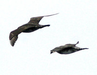 Pomarine Jeager (left) chased by Parasitic Jaeger (right). 14 October 2006. Photo by Debbie Barn...