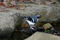 Slaty-backed Forktail 灰背燕尾