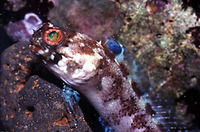 Opistognathus whitehursti, Dusky jawfish: aquarium