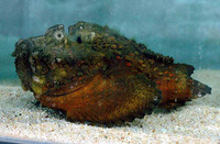 Synanceia horrida, Estuarine stonefish: aquarium