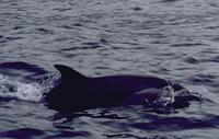 Image of: Stenella attenuata (pantropical spotted dolphin)