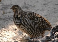 Tympanuchus cupido - Greater Prairie-chicken