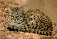 Leopardus tigrinus - Little Spotted Cat