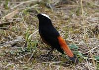 Image of: Chaimarrornis leucocephalus (white-capped water-redstart)