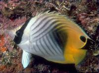 Image of: Chaetodon auriga (threadfin butterflyfish)
