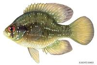 Image of: Enneacanthus gloriosus (bluespotted sunfish)