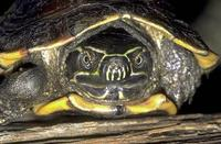 Image of: Malayemys subtrijuga (Malayan snail-eating turtle)