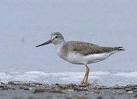 Terek Sandpiper (Xenus cinereus) photo