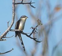 Mangrove Cuckoo (Coccyzus minor) photo