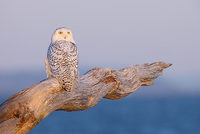 Snowy Owl (Nyctea scandiaca) photo
