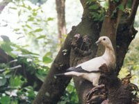 Pied Imperial-Pigeon - Ducula bicolor