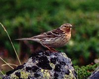 Red-throated Pipit - Anthus cervinus
