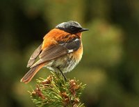 Rufous-backed Redstart - Phoenicurus erythronota