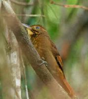 A Tawny-winged Woodcreeper photographed during a FONT Guatemala tour