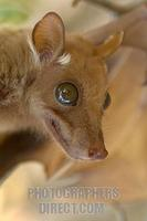 Peters epauletted fruit Bat stock photo