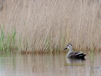 Spot-billed duck C20D 02733.jpg