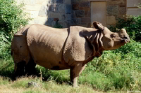 : Rhinoceros unicornis; Indian Rhinoceros