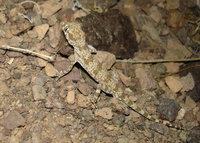 : Bunopus crassicaudus; Thick Tailed Tuberculated Gecko