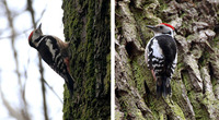 Middle Spotted Woodpecker Dendrocopos medius : female (left) and male (right)