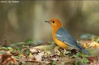 Orange-headed Thrush » Zoothera citrina