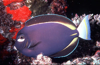 Acanthurus nigricans, Whitecheek surgeonfish: fisheries, aquarium