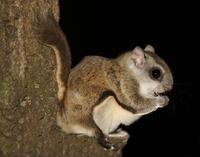 Image of: Glaucomys volans (southern flying squirrel)