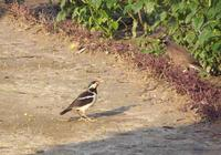 Gracupica contra - Asian Pied Starling