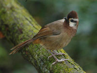 Image of: Garrulax sannio (white-browed laughingthrush)