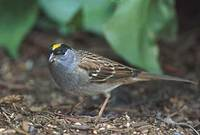 Golden-crowned Sparrow (Zonotrichia atricapilla) photo
