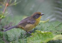 Tricolored Brush-Finch (Atlapetes tricolor) photo