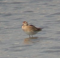 Sharp-tailed Sandpiper - Calidris acuminata