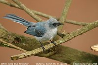 White-tailed Blue-Flycatcher - Elminia albicauda