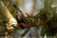 Red-headed Malimbe (Malimbus rubricollis)