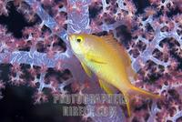 Indian flame basslet Pseudanthias ignitus , Indian Ocean stock photo