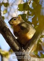 ...Squirrel in a tree ( American Red Tamiasciurus hudsonicus s ) [ #Beginning of Shooting Data Sect