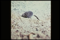 : Sorex palustris; Water Shrew