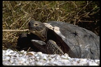 : Gopherus polyphemus; Gopher Tortoise