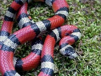 : Lampropeltis triangulum amaura; Louisiana Milk Snake