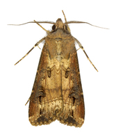 Agrotis ipsilon - Dark Sword-grass