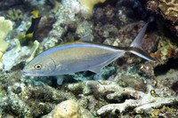 Carangoides ruber, Bar jack: fisheries, gamefish