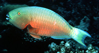 Chlorurus strongylocephalus, Indian Ocean steephead parrotfish: fisheries