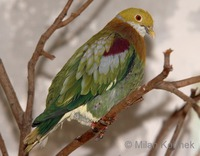 Ptilinopus ornatus - Ornate Fruit-Dove